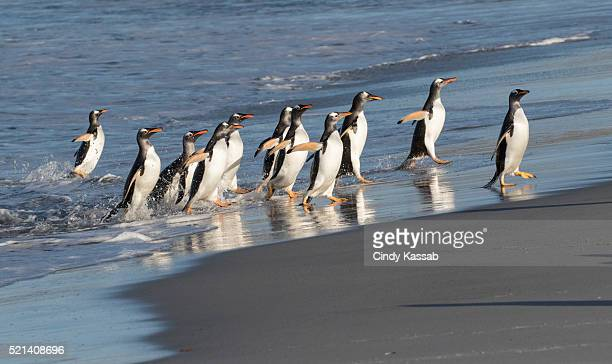 A Group of Gentoo Penguins Arriving on the Shore