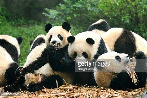 Gruppe Von Riesigen Pandas Essen Bambus Chengdu China Stock Foto