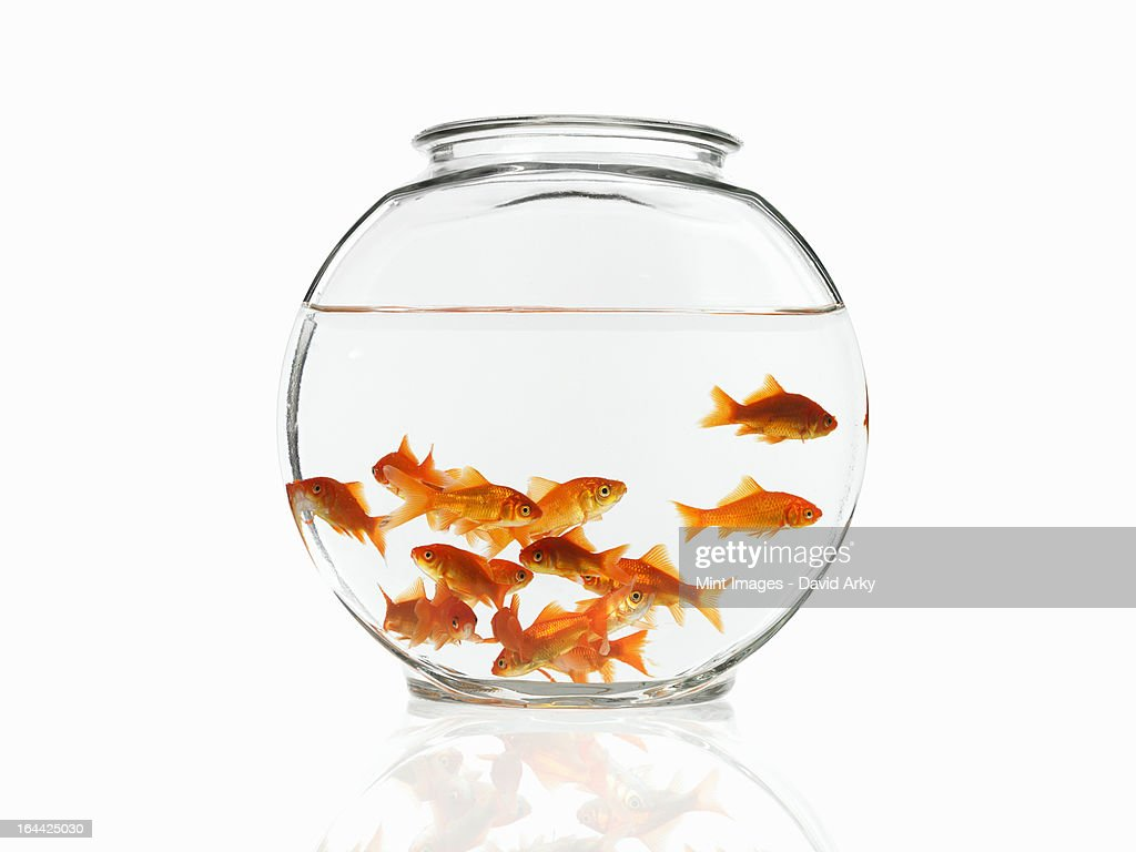 A group of goldfish swimming in a bowl. : Stock Photo