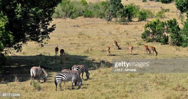 Group of Grant's zebras (Equus quagga boehmi)