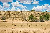 Group of grazing springbok