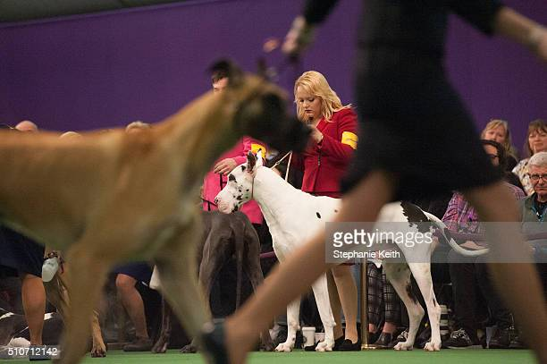 A group of Great Danes compete on the second day of the 140th annual Westminster Kennel Club dog show on February 16 2016 in New York City The dog...