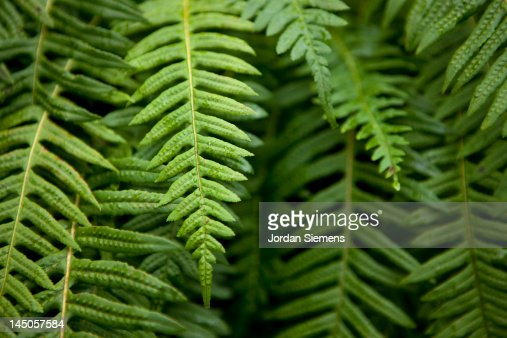 oregon green ferns - photo #14