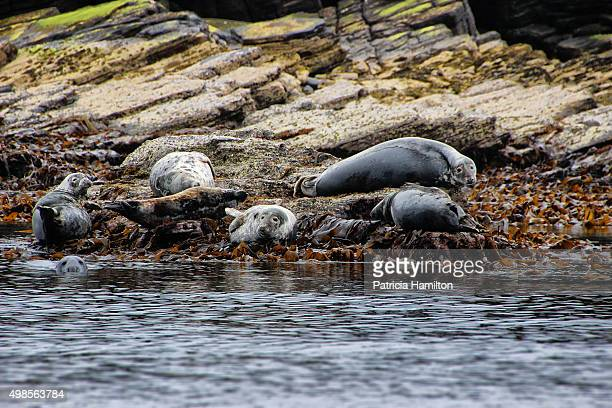 Group of grey seals basking on Copinsay, Orkneys