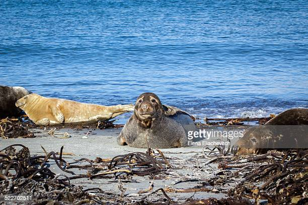 Group of grey seals, Helgoland