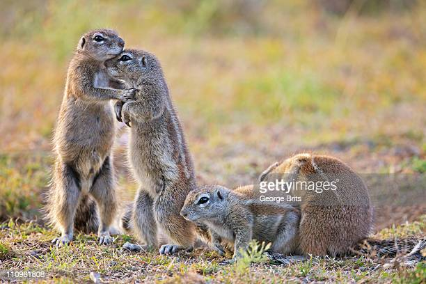 Group of Ground Squirrels, Mountain Zebra National Park, Eastern Cape Province, South Africa