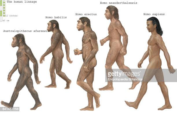 Group of Homosapiens Australopithecus afarensis Homo erectus Homo habilis and Neanderthal