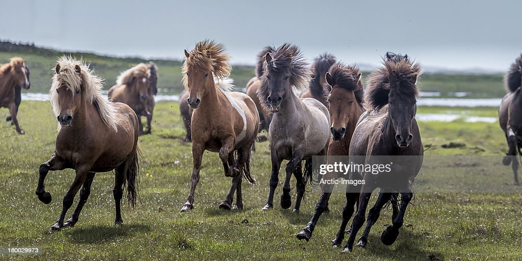 Group of Horses running