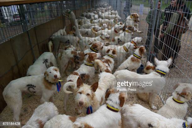 ARBOLEDA ALMAZáN SORIA SPAIN A group of hunting dogs pictured during the XIII annual exhibition of 'Rehalas' in Almazán north of Spain