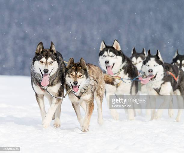 Group of husky sled dogs running in snow (XXL)