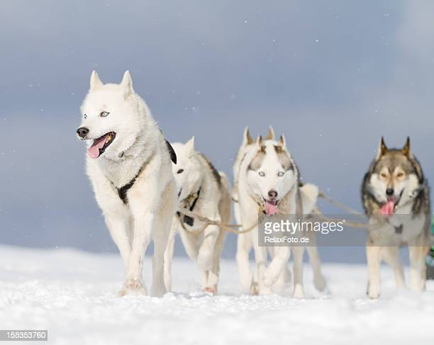 Group of husky sled dogs walking in snow (XXL)