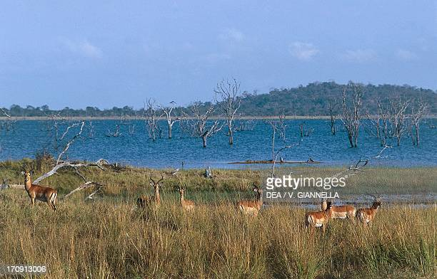 Group of Impalas in the bush at the edge of the Kafue River the Kafue National Park Zambia