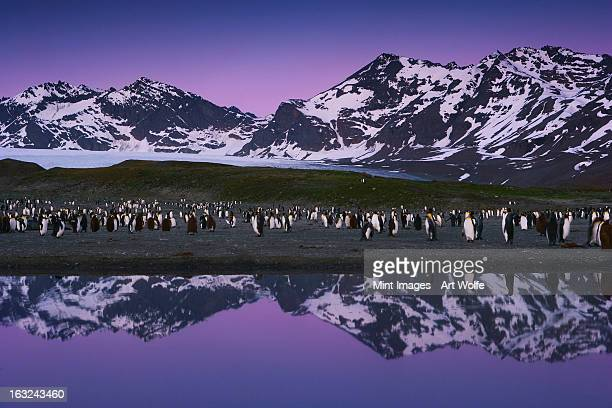 A group of King Penguins in a breeding colony group on South Georgia Island in the Falkland islands. Night.