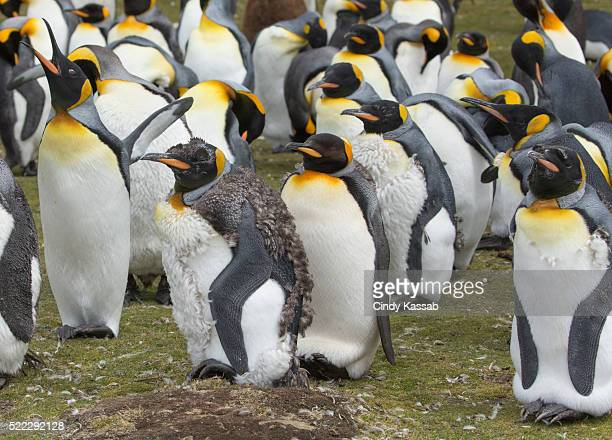 A Group of King Penguins in a Colony at Volunteer Point
