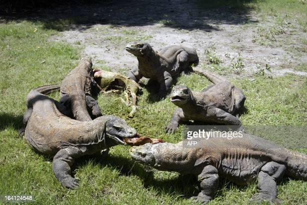 A group of Komodo dragons feast on a fresh goat carcass inside the Surabaya Zoo enclosure for the giant lizards during feeding time on March 20 2013...