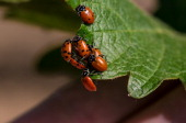 A group of ladybugs gather on a cabernet sauvignon grape leaf on April 25 near Rutherford California Warm temperatures and a dry spring have...