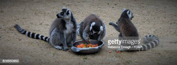 Group of lemur eating food