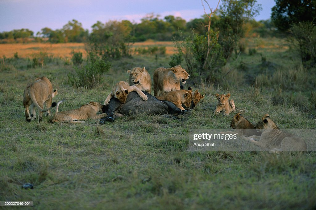 Group of lions (Panthera leo) eating its prey : Stock Photo