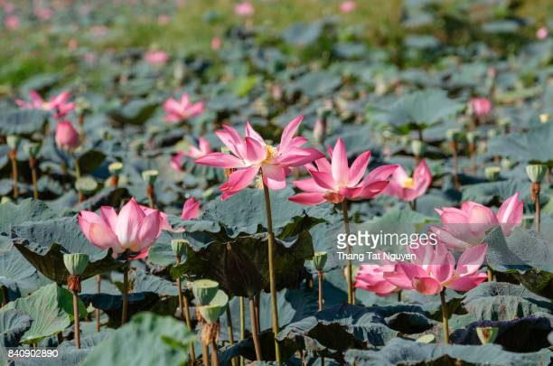 Group of lotus blossoming