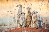 A group of suricates stand guard outside their burrow system