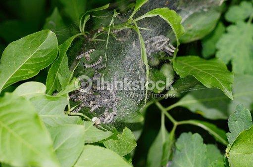 gruppe von motten raupen in ihrem nest auf einem gr nen bl tter eines busches stock foto. Black Bedroom Furniture Sets. Home Design Ideas