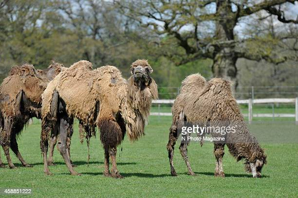A group of moulting Bactrian camels at Cotswold Wildlife Park in Oxfordshire taken on May 8 2012