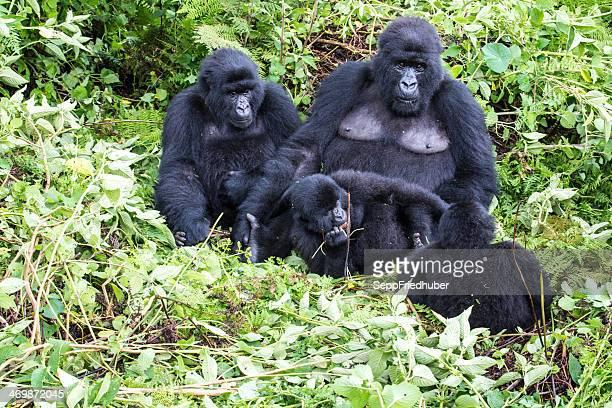 Gruppe von Berggorillas Ruanda