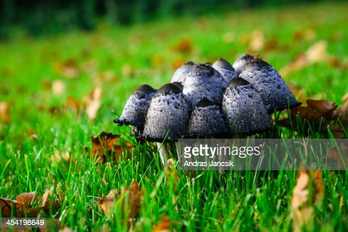 Group of mushrooms in the grass : Stock Photo