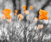 Orange California poppy flowers (Eschscholzia californica)