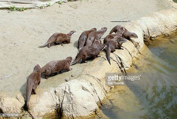 Group of Oriental Small Clawed Otters