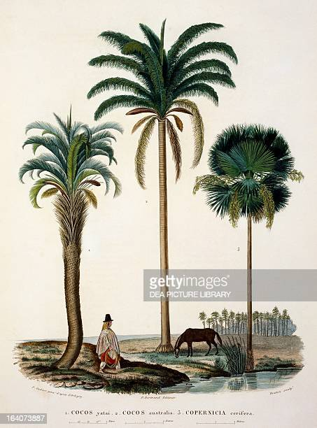 Group of palm Cocos Yatai Cocos Australis Copernicia cerifera engraving from Voyage to south America by Alcide Dessalines d'Orbigny Volume 7 Table I...