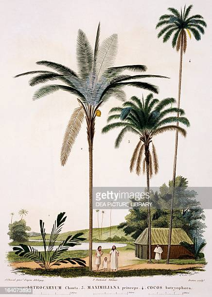 Group of palm trees Astrocaryum Chonta Maximiliana Princeps and Cocos botryophora engraving from Voyage to south America Alcide Dessalines d'Orbigny...