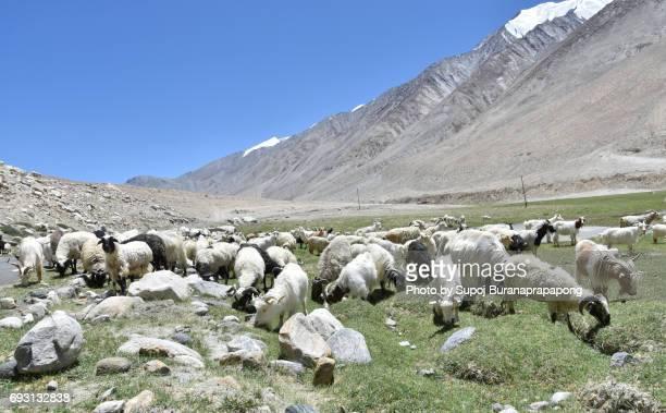Group of Pashmina goat on the way from Leh Ladakh to Pangong Tso Lake,Jammu and kashmir,India
