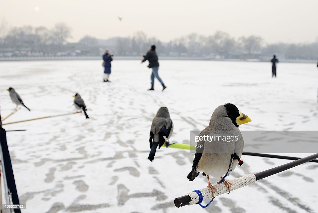 A group of pet birds are seen on a tripod at on a frozen lake in Beijing on December 19, 2012. China will allow transit passengers from 45 countries including the US, Canada and all members of the EU to spend up to 72 hours in Beijing without a visa from January 2013, city authorities said. AFP PHOTO / WANG ZHAO