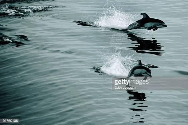 Group of porpoises