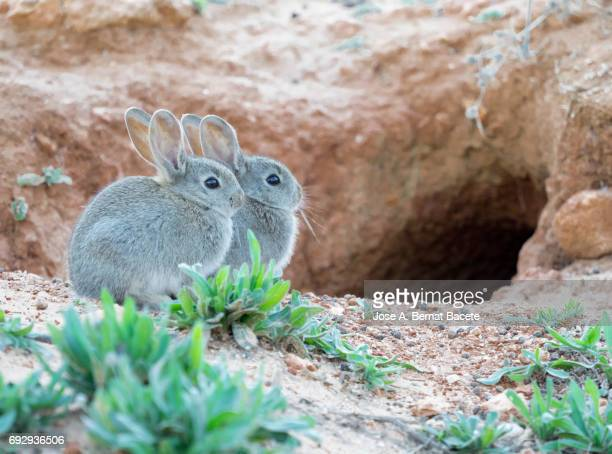 Group of rabbits juveniles going out of his burrow, considered as plague. ( Species Oryctolagus cuniculus.)