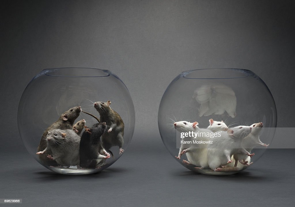 Group of rats in glass bowls : Stock Photo
