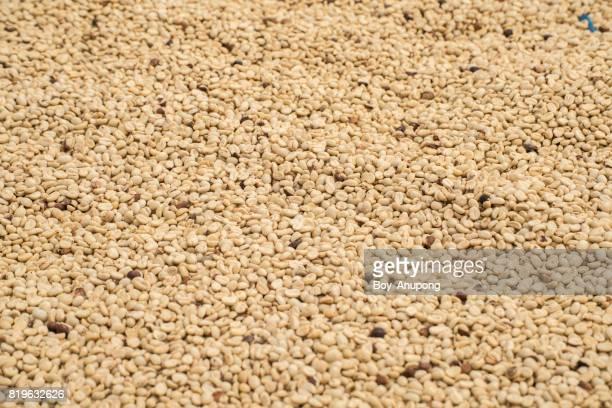 Group of raw coffee beans sunbathing process before roast.