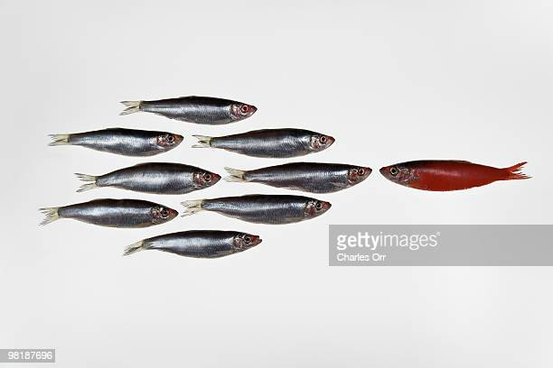 Group of sardines facing a single sardine painted red