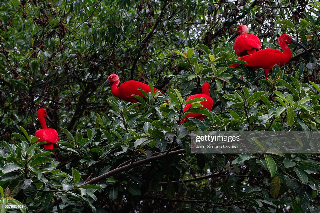 A Group of Scarlet Ibis Birds