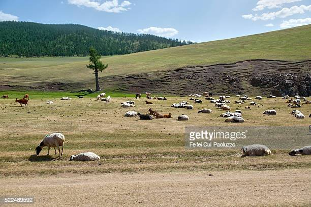 Group of sheep at Orkhon Valley in Central Mongolia