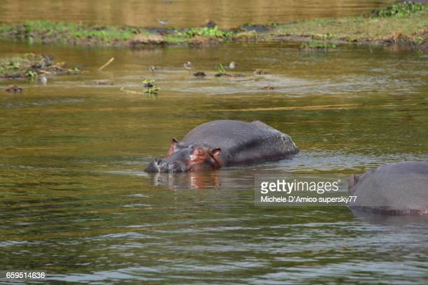 Group of sleeping hippopotamuses (Hippopotamus amphibius) in the Nile Region