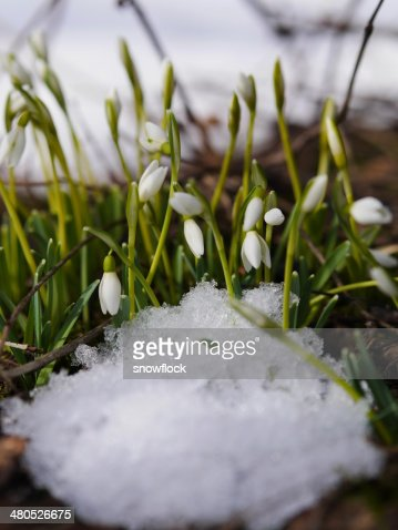 Group of snowdrop flowers  growing in snow : Stock Photo