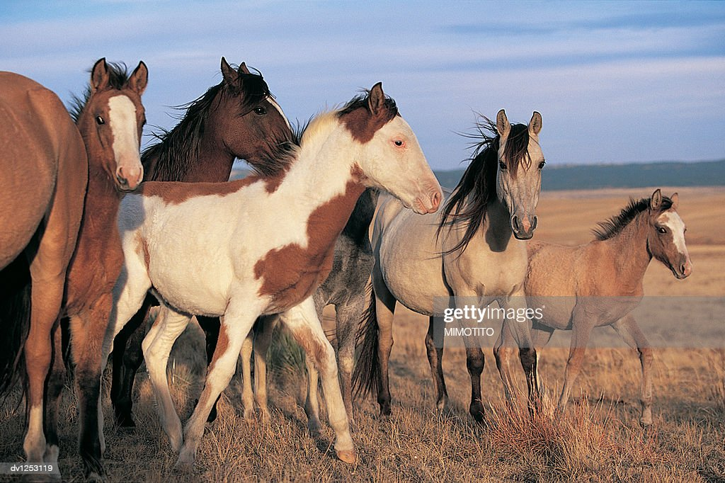 Group of Spanish Mustang Horses on a Prairie in Wyoming, USA : Stock Photo