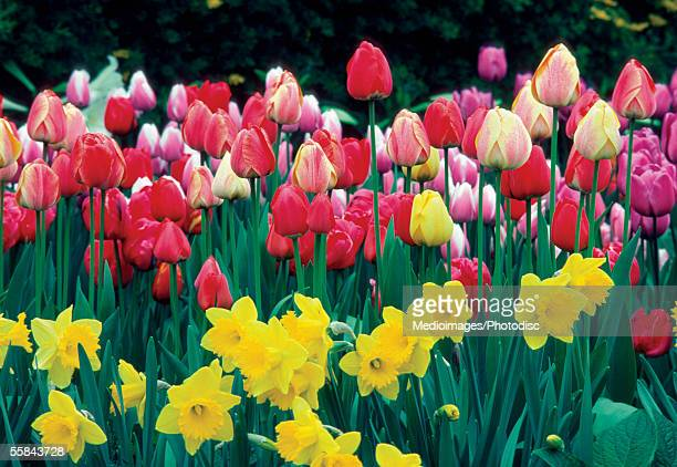 Group of Tulips and Daffodils in a field, Netherlands