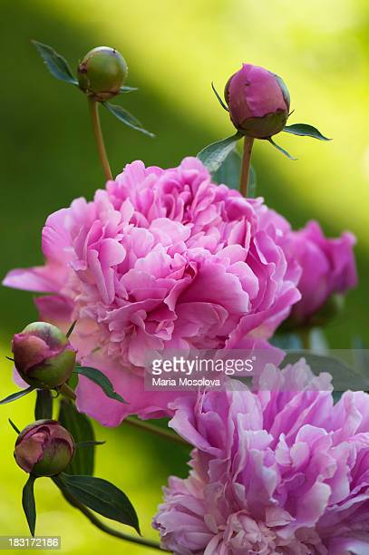 A Group of Vivid Pink Peony Flowers and Buds