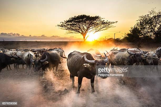 group of water buffalo with beautiful sunset scene