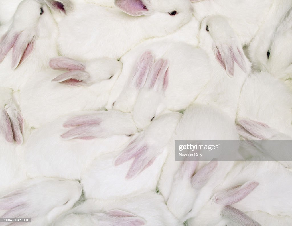 Group of white rabbits (Oryctolagus cuniculus), overhead view : Stock Photo