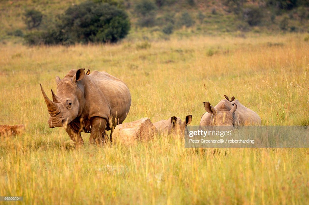 Group of white rhinos, Pilanesberg National Park, Sun City, South Africa, Africa