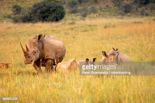 Group of white rhinos, Pilanesberg National Park, Sun City, South Africa, Africa